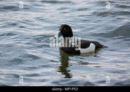 Tufted Duck swimming on Kingsmill Reservoir in Mansfield - Stock Photo