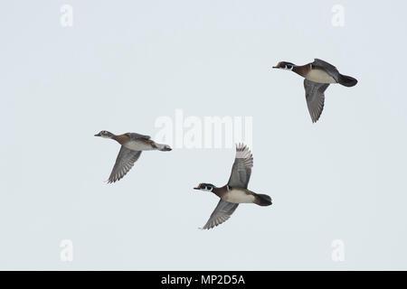 Wood Ducks in the winter in Minnesota - Stock Photo