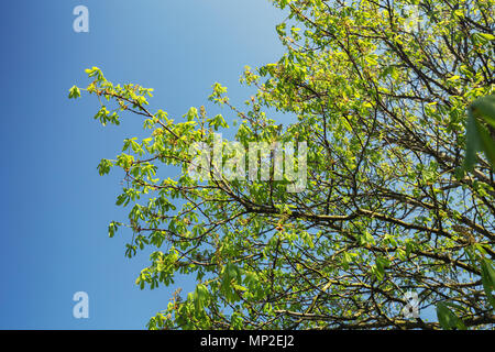 Looking up onto freshly green chestnut tree branch full of green leaves on blue sky background - Stock Photo