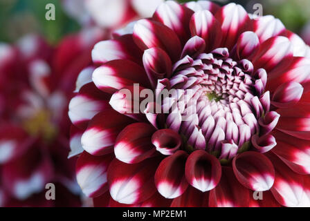 DAHLIA 'CHECKERS' - Stock Photo