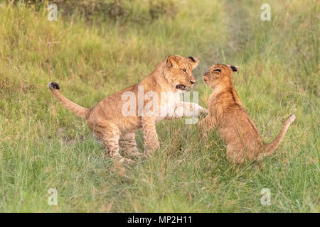 Lion cubs playing and fighting in vumbera in the okavango delta in botswana - Stock Photo