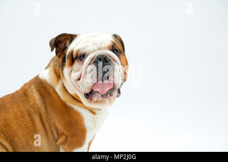 A young traditional British Bulldog sitting on a white seamless background looks around at the camera - Stock Photo