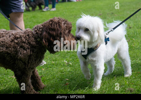 Black and white dogs affectionately rub noses at dog show in Canons Park, Edgware, North London, during annual Family Fun Day. Landscape. - Stock Photo