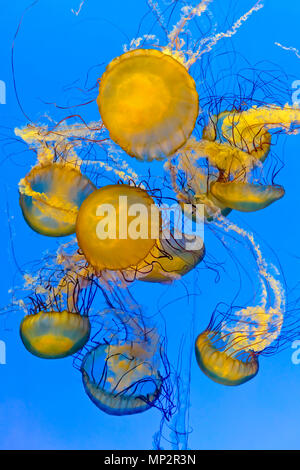 Pacific sea nettles / Chrysaora fuscescens jellyfish, Shanghai Ocean Aquarium, Shanghai, China - Stock Photo