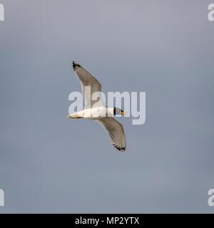 Pallas Gull (Ichthyaetus ichthyaetus) - Stock Photo