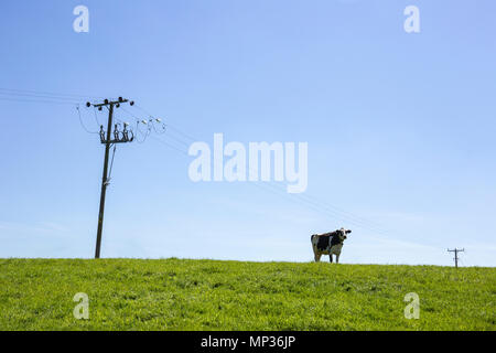 Single cow with power lines in field - Stock Photo