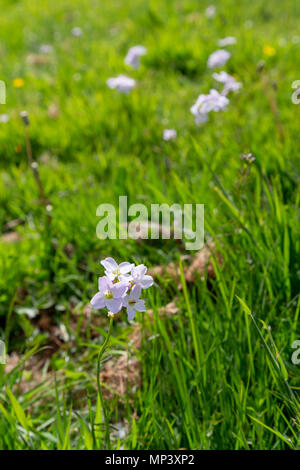 Cardamine pratensis, a flowering plant also known as cuckooflower, lady's smock, mayflower, or milkmaids, growing wild in a park in Warrington, Cheshi - Stock Photo