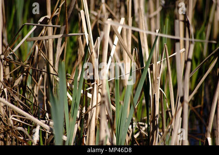 Green and dry reeds on the edge of a pond. - Stock Photo