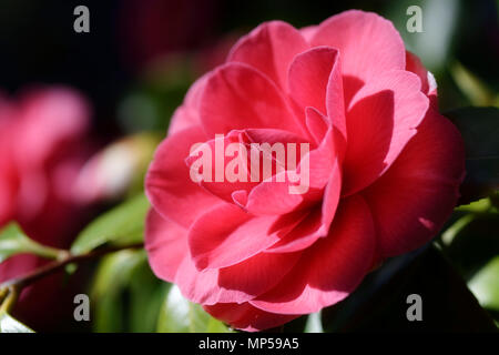 Red Japanese camellia beautiful flower closeup in sunlight, Camellia Japonica - Stock Photo