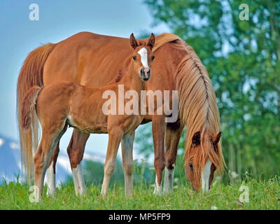 Chestnut Arabian Mare and cute few week old Foal together in spring meadow. - Stock Photo
