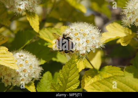bumblebee sitting on a white flower - Stock Photo