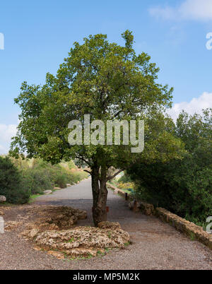 mount tabor oak tree located on the trail to Banyas Falls in the Golan Heights - Stock Photo