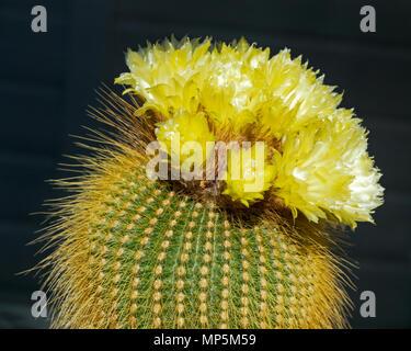 unusual and beautiful yellow flowering ball cactus Parodia leninghausii in full bloom - Stock Photo