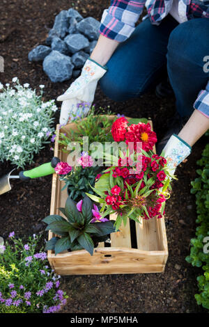 Unrecognisable female gardener holding crate full of beautiful flowers ready to be planted. Gardening concept. Garden Landscaping business startup. - Stock Photo