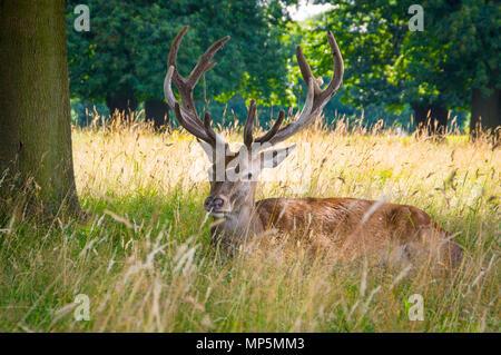 Deer at Wollotan Hall, Nottingham. - Stock Photo