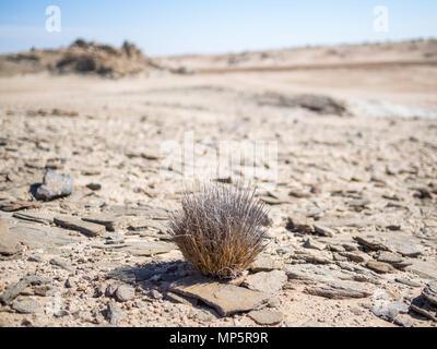 Single desert adapted plant growing in Namib desert at Namib-Naukluft National Park, Namibia, Africa - Stock Photo