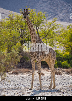 Large giraffe standing in rocky dry river bed with green trees, Damaraland, Namibia, Southern Africa - Stock Photo