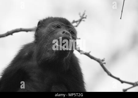 Howler monkey in the rain forest in central america - Stock Photo