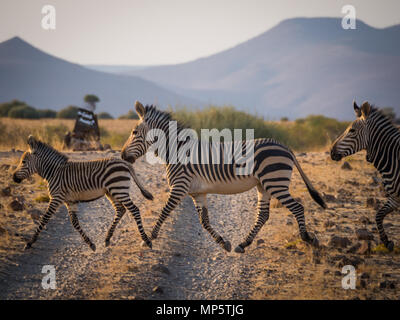 Family of three zebras crossing dirt road in Palmwag concession during afternoon, Namibia, Southern Africa - Stock Photo