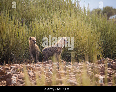 Portrait of spotted hyenas standing in front of green desert bush looking into distance, Palmwag, Namibia, Africa - Stock Photo