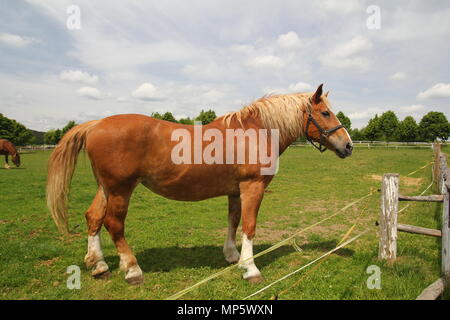 Draft horse show standing on the field - Stock Photo