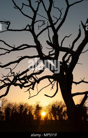 Leafless tree shilouette with sun setting behind low hedge - Stock Photo