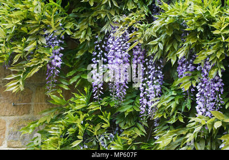 Wisteria sinensis growing against a stone wall. - Stock Photo