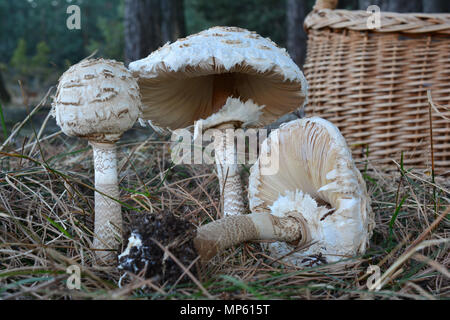 Small group of three Parasol mushrooms or Macrolepiota procera mushrooms in a meadow on the edge of the pine forest with wicker basked in background - Stock Photo