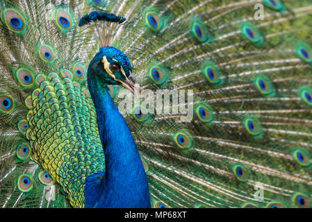 Indian blue peacock with vibrant iridescent plumage in full display at Ponce de Leon's Fountain of Youth Archaeological Park in St. Augustine, Florida. - Stock Photo