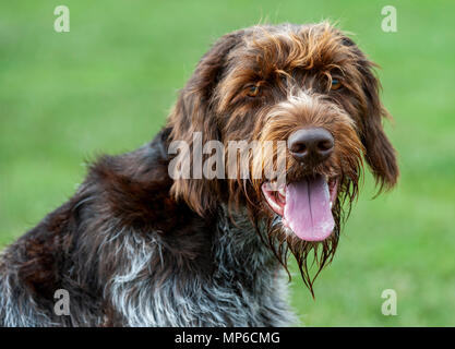 Korthals Griffon – Dog - A Wirehaired Pointing and hunting dog a popular hound used as a gundog in Europe - Stock Photo