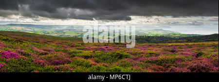 Bell heather and gorse in flower on Beacon Hill in the Quantock Hills in late summer with the Bristol Channel beyond. Weacombe, Somerset, England. - Stock Photo