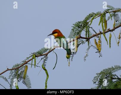 Chestnut-headed Bee-eater in a Tree in Bundala National Park - Stock Photo