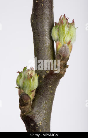 Leaf and flower bud an apple twig swelling and starting to open in early spring - Stock Photo