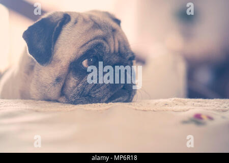 sweet nice pug dog with background defocused. brown tones and vintage style. eyes looking at his side with curiosity. - Stock Photo