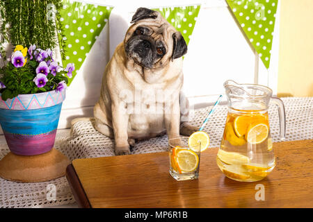 lemonade for a diet for a nice sad pug too much fat. weight loss project drinking lemon and water for wellness and health. dog healthy. - Stock Photo