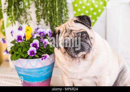 One beautiful pug dog white looking with interest at camera.Best friend close to the flowering vase - Stock Photo
