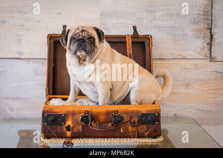 nice pug dog inside a trolley case ready to travel and discover the world. wonderlust concept. - Stock Photo