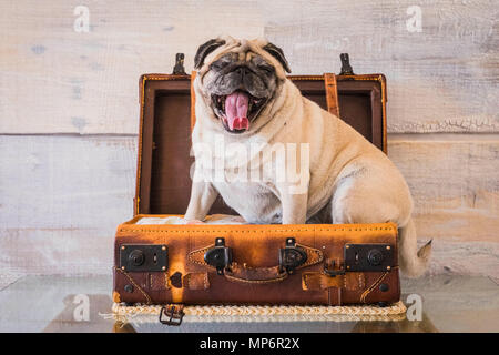 nice funny pug dog lazy sleep on the 24 hour luggage ready to travel but bored and tired with wall on the background. old vintage trolley and image, j