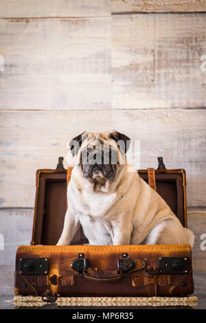 dog pug sweet and funny inside a luggage on the table, always ready to start. wanderlust concept and old vintage troppey.