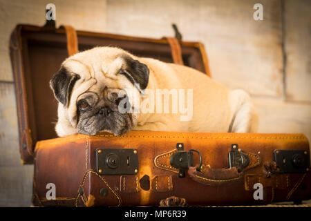 vintage filter and scene with old white pug lay down inside an old carrying case luggage. defocused background ancient style for wallpaper