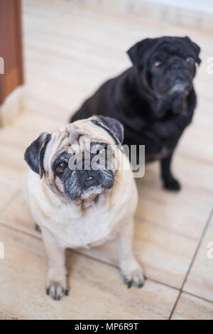 pug dog is having fun playing under the blanket. Lying on a brown couch, you look with tender eyes wrapped in a white blanket. - Stock Photo