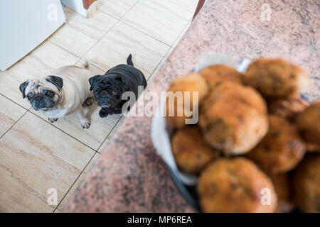 Couple of pug dogs white and black looking with interest to the meat ball on the table. Waiting for food - Stock Photo