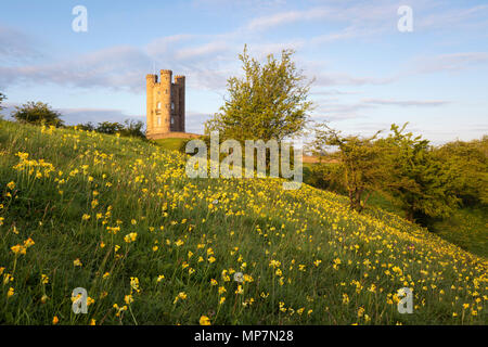 Cowslips in spring with Broadway tower in early morning sunshine, Broadway, Cotswolds, Worcestershire, England, United Kingdom, Europe - Stock Photo