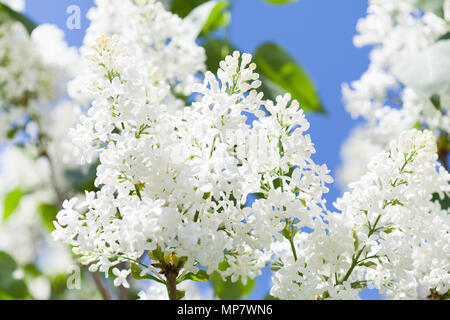 Blossoming common Syringa vulgaris lilacs bush white cultivar. Springtime landscape with bunch of tender flowers. lily-white blooming plants background against blue sky. Sof focus - Stock Photo