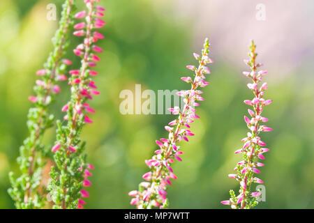 Beautiful wild plants blossoming background.. Heather flowers Pink Calluna vulgaris, soft green field, selective focus photo - Stock Photo