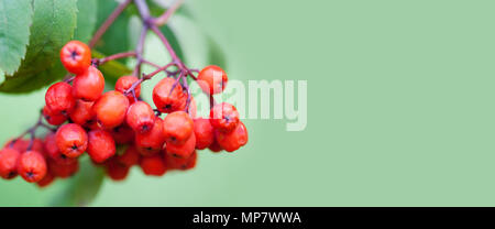 Mountain rowan ash branch berries on green background. Autumn harvest still life scene. Soft focus blurred background photography. Copy space - Stock Photo