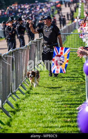 Royal wedding. Police sniffer dogs patrolling the crowd line along The Long Walk, Windsor. Security prior to Meghan Markle and Prince Harry wedding - Stock Photo
