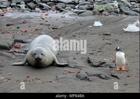 Elephant Seal and Gentoo Penguin, Antarctica - Stock Photo