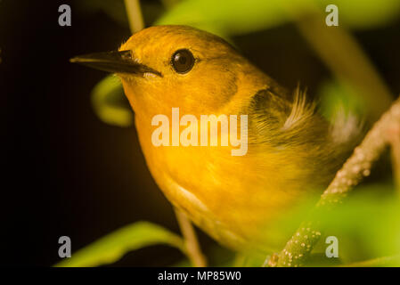 A prothonotary warbler (Protonotaria citrea) that was spending the night perched on a branch in a wetland. - Stock Photo