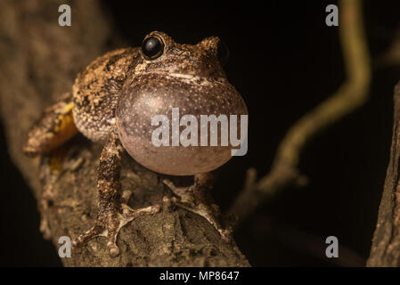 A male Cope's gray tree frog (Hyla chrysoscelis) loudly trilling from a tree branch in order to attract a female. - Stock Photo
